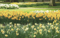 cropped-daffodils.png