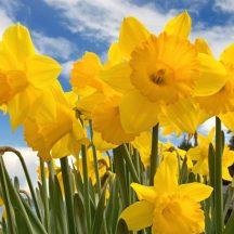 cropped-sunny_daffodils-1024x768.jpg